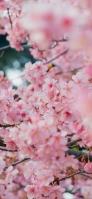 ピンクの桜の可愛い花 OPPO Reno A Android スマホ壁紙・待ち受け