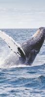 豪快なジャンプをするザトウクジラ Redmi 9T Android スマホ壁紙・待ち受け