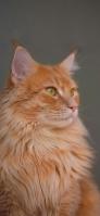 茶色の毛並みの凛々しい猫 Redmi 9T Androidスマホ壁紙・待ち受け
