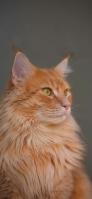 りりしい茶色の猫 iPhone 11 Pro スマホ壁紙・待ち受け