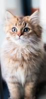 きょとんとした表情の猫 OPPO Reno A Androidスマホ壁紙・待ち受け