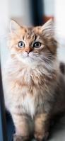 茶色の凛々しい猫 iPhone 12 Pro スマホ壁紙・待ち受け