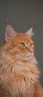 凛々しい猫 OPPO Reno5 A Androidスマホ壁紙・待ち受け