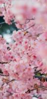 綺麗な満開の桜 AQUOS sense4 壁紙・待ち受け
