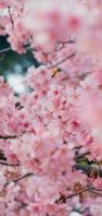 綺麗な満開の桜 AQUOS sense5G 壁紙・待ち受け