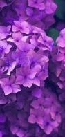 綺麗な紫の紫陽花 AQUOS sense5G 壁紙・待ち受け
