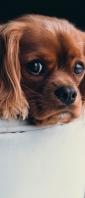 犬 アメリカン・コッカースパニエル Xperia 10 III Androidスマホ壁紙・待ち受け