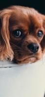 茶色い犬 iPhone 12 mini スマホ壁紙・待ち受け