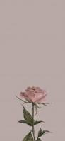 淡いピンクの薔薇 ビンテージ iPhone 12 mini スマホ壁紙・待ち受け