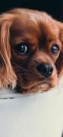 寝そべる茶色い犬 iPhone 12 スマホ壁紙・待ち受け