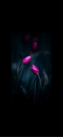 綺麗なピンクの3本のチューリップ iPhone 12 スマホ壁紙・待ち受け