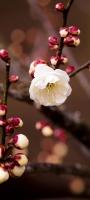 白い梅の花 Redmi Note 9S Androidスマホ壁紙・待ち受け