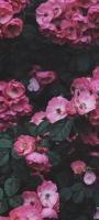 可愛いピンク・白の花 Mi 11 Lite 5G 壁紙・待ち受け