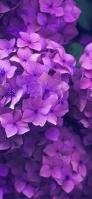 6月 満開の紫の紫陽花 Google Pixel 5 Android 壁紙・待ち受け